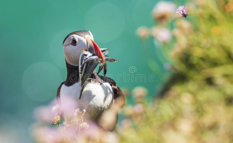 Close-up of a puffin, Atlantic Puffin, Fratercula artica stock photo