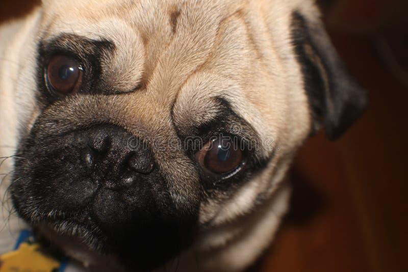 Close up pug's face stock photo