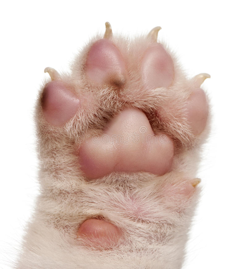 Download Close-up Of Puppy's Paw, 4 Weeks Old Stock Image - Image: 18673399