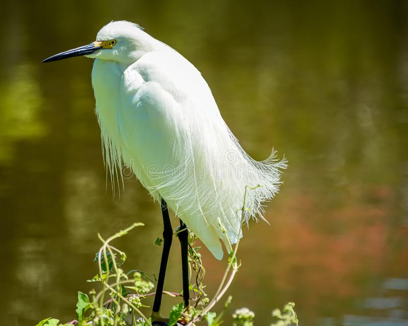 Up Close with a Snowy Egret stock photos