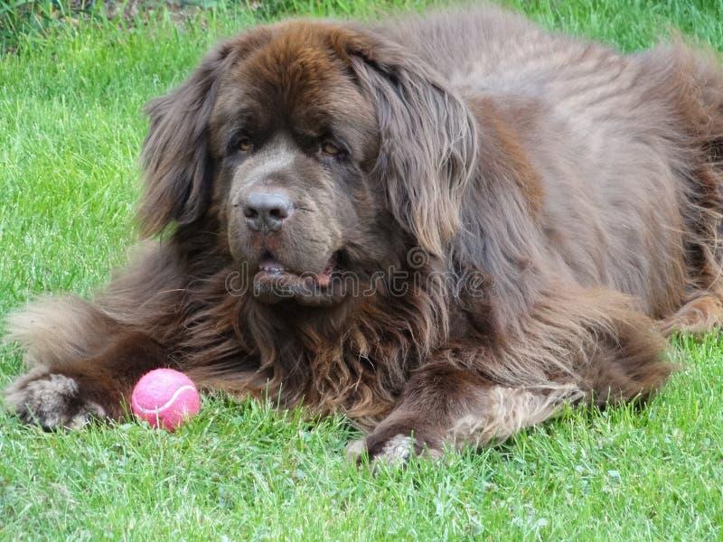 Close up of a purebred brown newfoundland dog royalty free stock photo