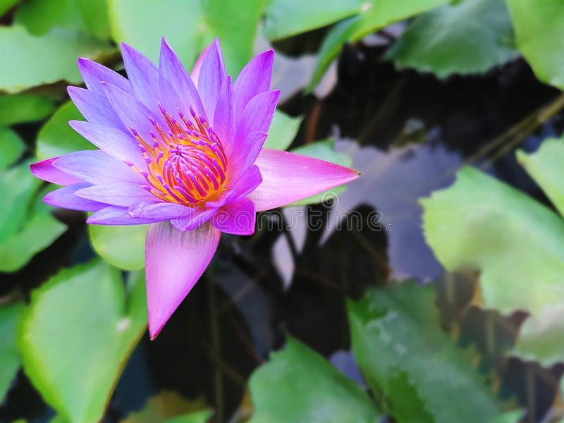 Close-up Purpere Roze Lotus Flower met Vage Groene Bladerenachtergrond stock foto's
