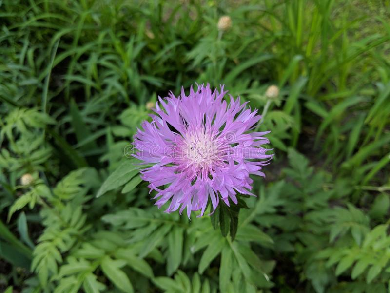 Close-up of an a purple American basket flower on the green grass background in natural colors stock photo