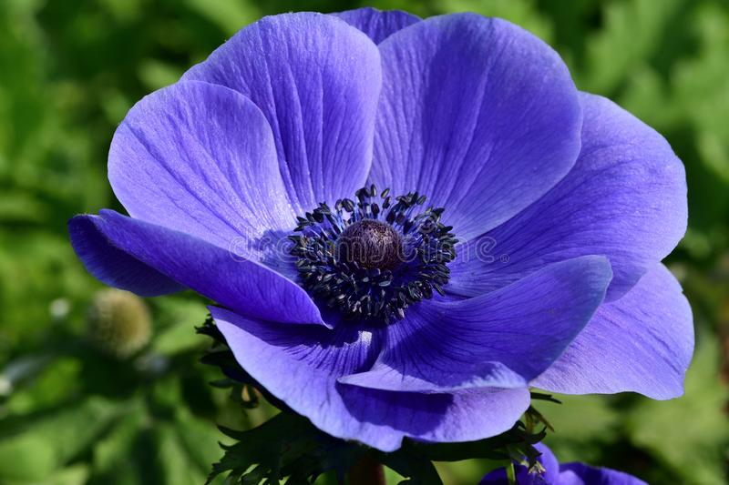Anemone flower. Close up of a purple anemone flower in bloom stock photography