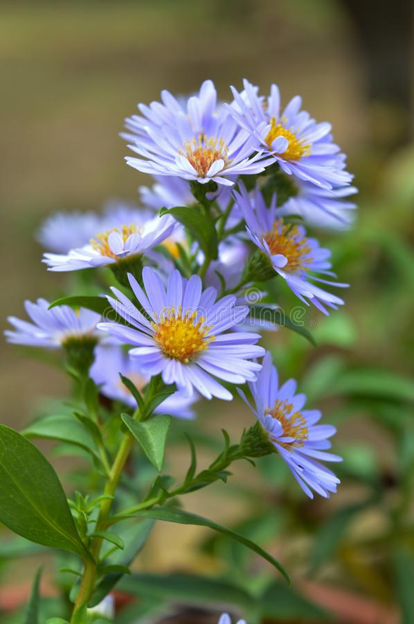 Close-up of Purple Aster Flowers, Nature, Macro stock images