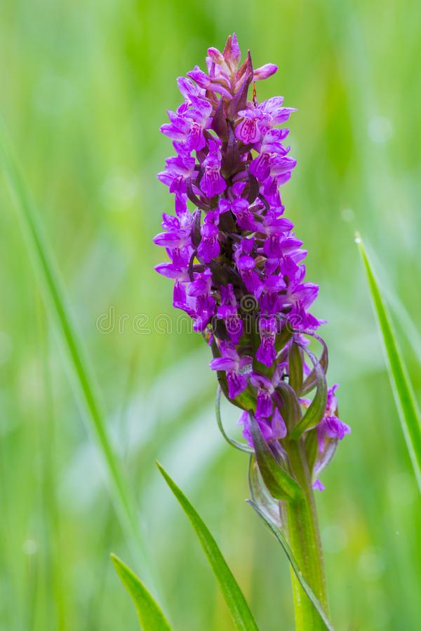 Close-up purple blooming orchid flower in green meadow royalty free stock image