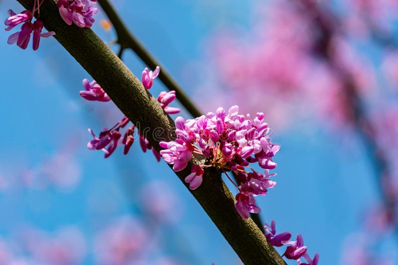 Close-up of purple blossom of Eastern Redbud, or Eastern Redbud Cercis canadensis in spring sunny garden. Purple inflorescences against clean blue sky stock photography