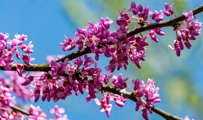 Close-up of purple blossom of Eastern Redbud, or Eastern Redbud Cercis canadensis in spring sunny garden. Purple inflorescences against clean blue sky royalty free stock photo