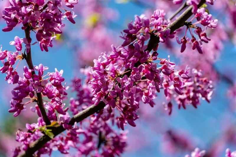 Close-up of purple blossom of Eastern Redbud, or Eastern Redbud Cercis canadensis in spring sunny garden. Purple inflorescences against clean blue sky stock images