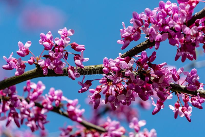 Close-up of purple blossom of Eastern Redbud, or Eastern Redbud Cercis canadensis in spring sunny garden. Purple inflorescences against clean blue sky royalty free stock images