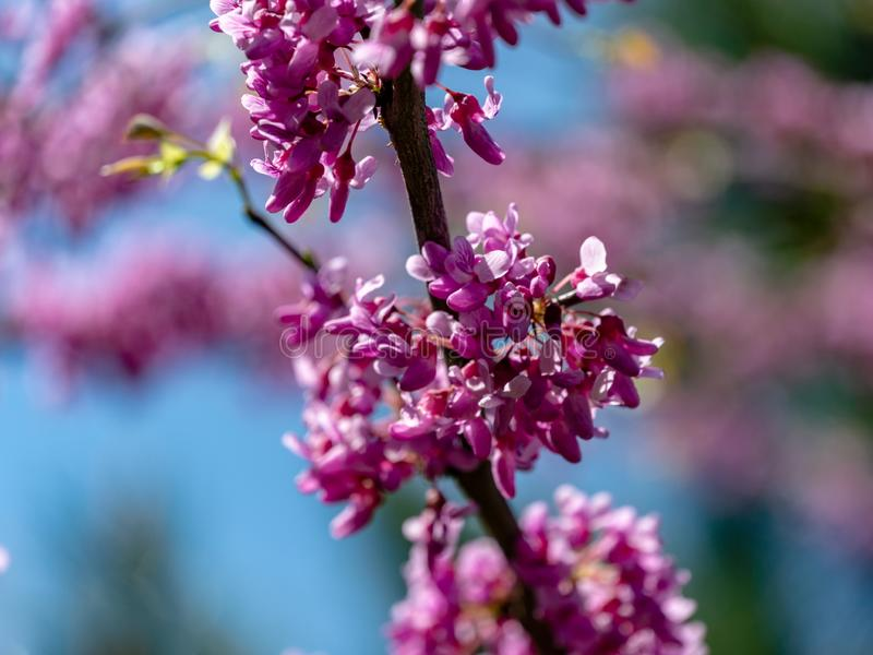 Close-up of purple blossom of Eastern Redbud, or Eastern Redbud Cercis canadensis in spring sunny garden. Purple inflorescences against clean blue sky stock photo