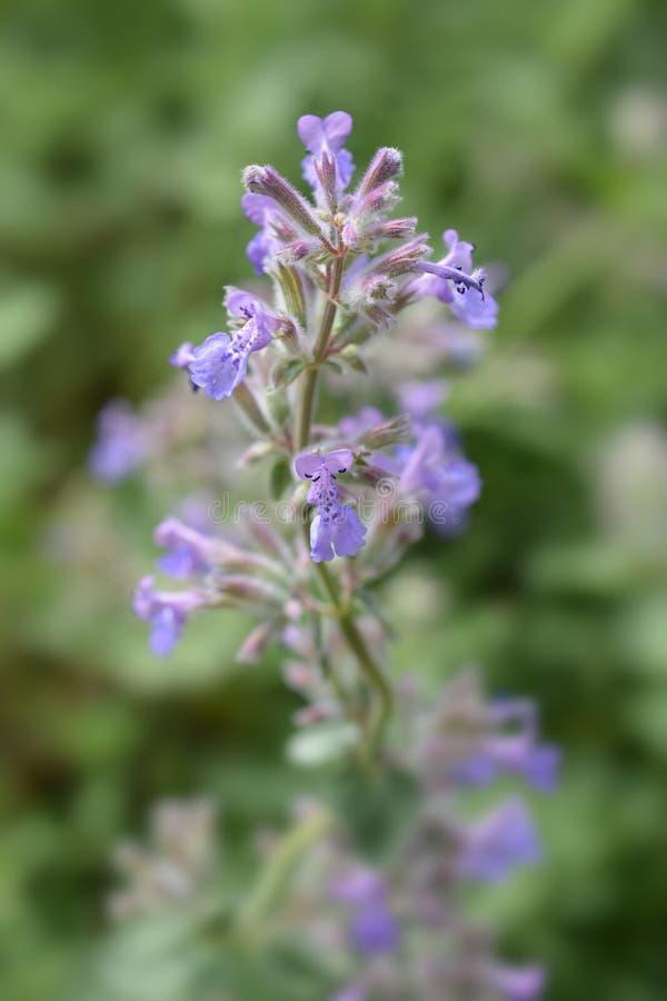 Catnip flowers. Close up of purple catnip flowers - Latin name - Nepeta grandiflora royalty free stock photography