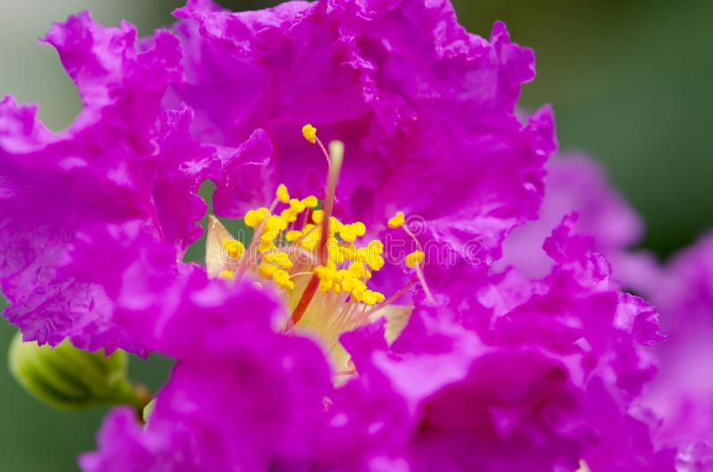 Close up Purple Crape myrtle or Crepe myrtle or Lagerstroemia speciosa blooms in the garden. With green background stock photo