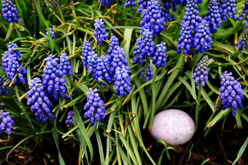 Close up of purple-dyed Easter egg with `Happy Easter` is hidden in a garden of hyacinth flowers. Close up of purple-dyed Easter egg with `Happy Easter` written stock image