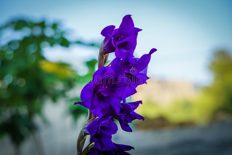 Close up purple flower on tree background. royalty free stock image