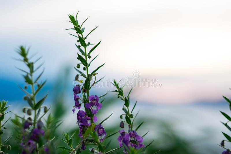 close up. purple flower have sunrise and mountain blurred are ba royalty free stock photos