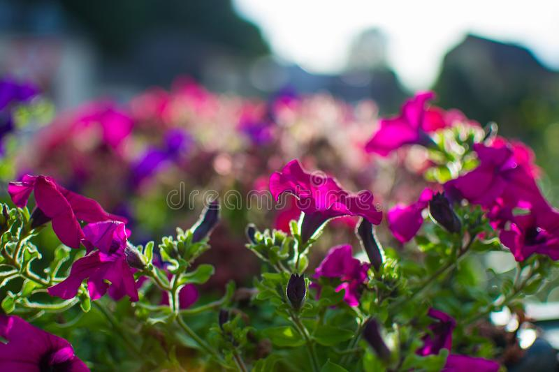 Close up of purple flowers with defocused sun rays at the background.  stock images