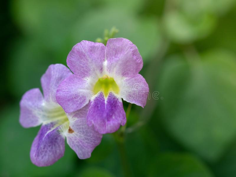 Close-up of Purple flowers name Bengal clock vine on blur background. Beautiful flower stock photo