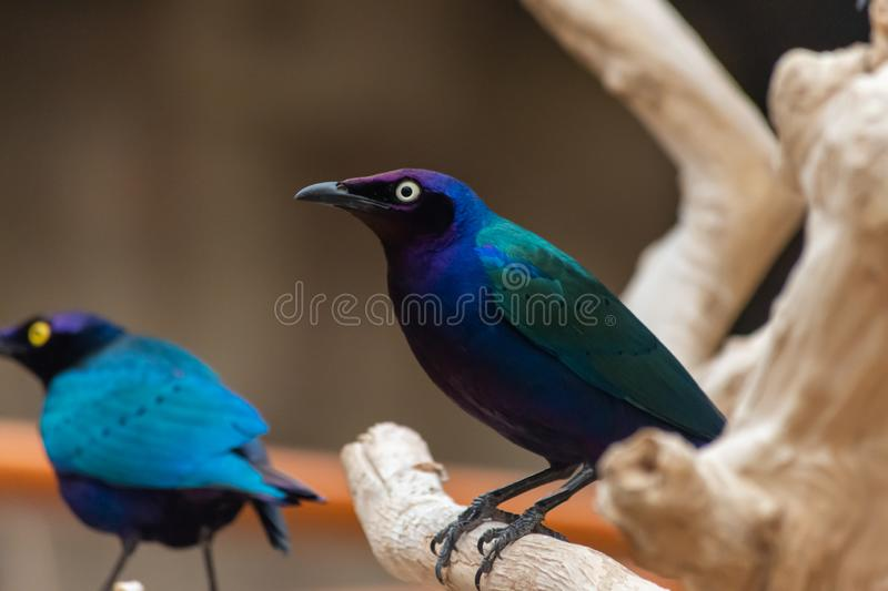 Close up of a purple and green Asian glossy starling bird Aplonis panayensis perched on a dry branch with its mate behind stock image
