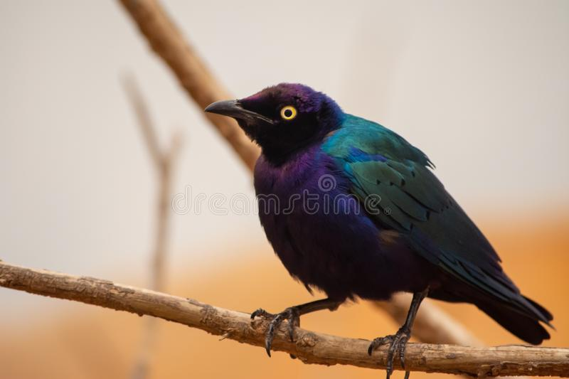 Close up of a purple and green Asian glossy starling bird Aplonis panayensis perched on a dry branch with orange background royalty free stock images