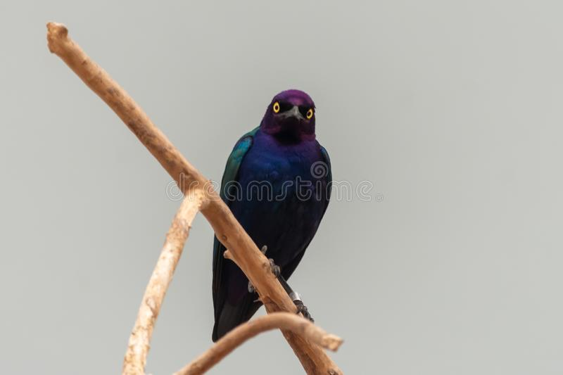 Close up of a purple and green Asian glossy starling bird Aplonis panayensis perched on a dry branch staring downward stock photography
