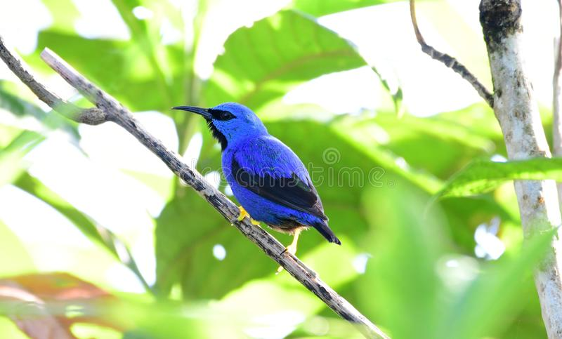 Close up of a Purple Honeycreeper Cyanerpes caeruleus male stock photos