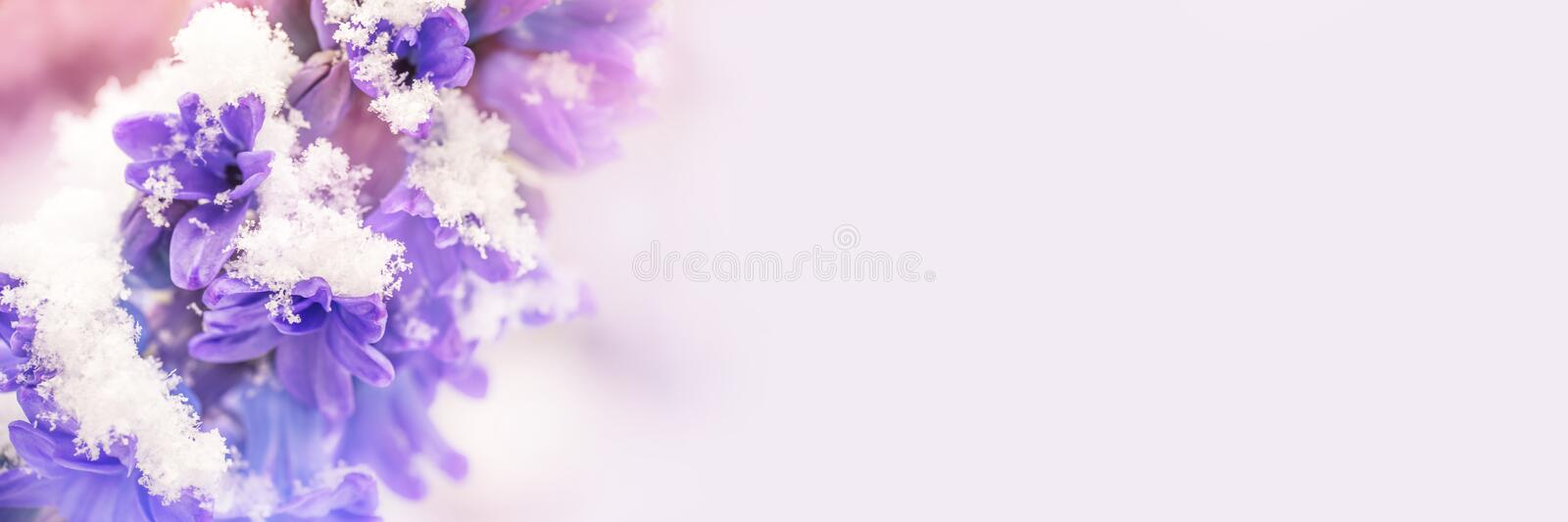 Close up of a purple hyacinth in the snow panoramic winter and spring background. Close up of a purple hyacinth in the snow, panoramic winter and spring stock photography