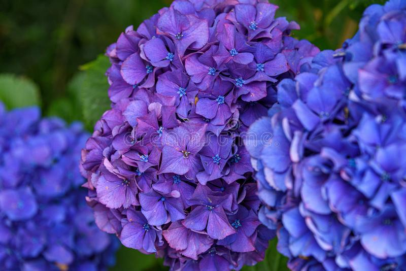 Close up of a purple hydrangea bloom growing in a garden, blue blooms in foreground and background stock photography