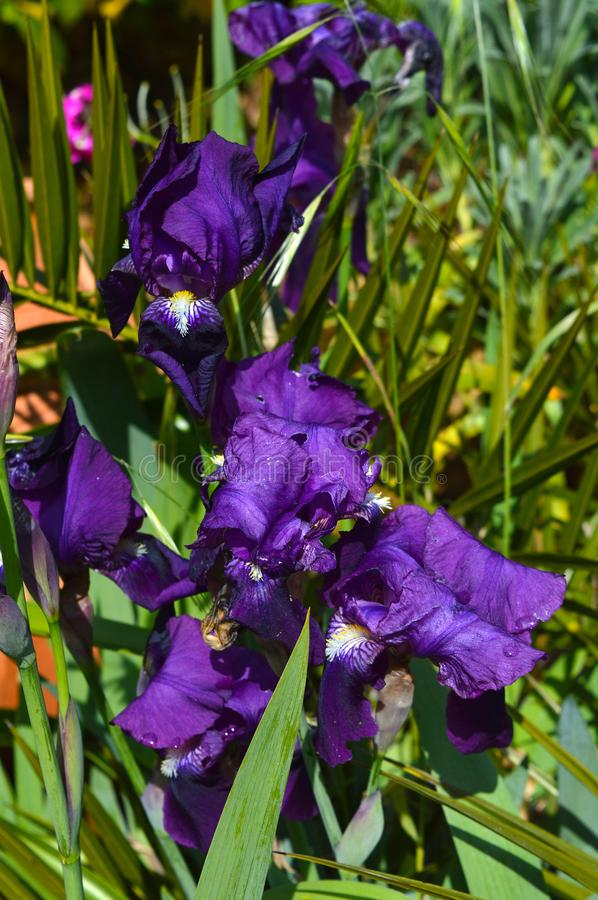 Close-up of a Purple Iris in Bloom, Nature, Macro royalty free stock photography