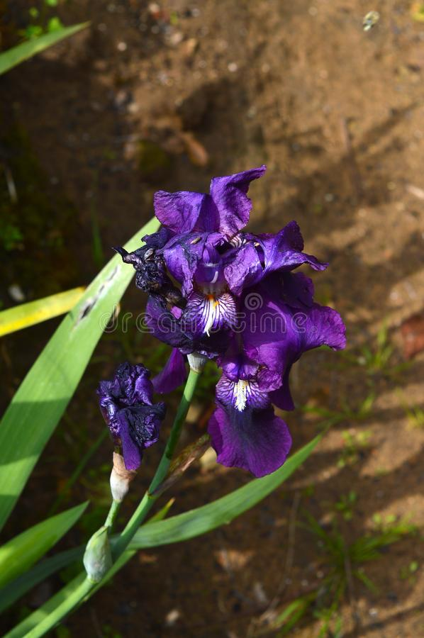 Close-up of a Purple Iris in Bloom, Nature, Macro royalty free stock photo