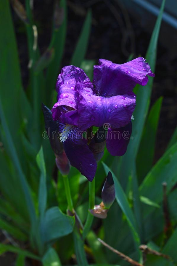 Close-up of a Purple Iris in Bloom, Nature, Macro. Floral Background royalty free stock photo