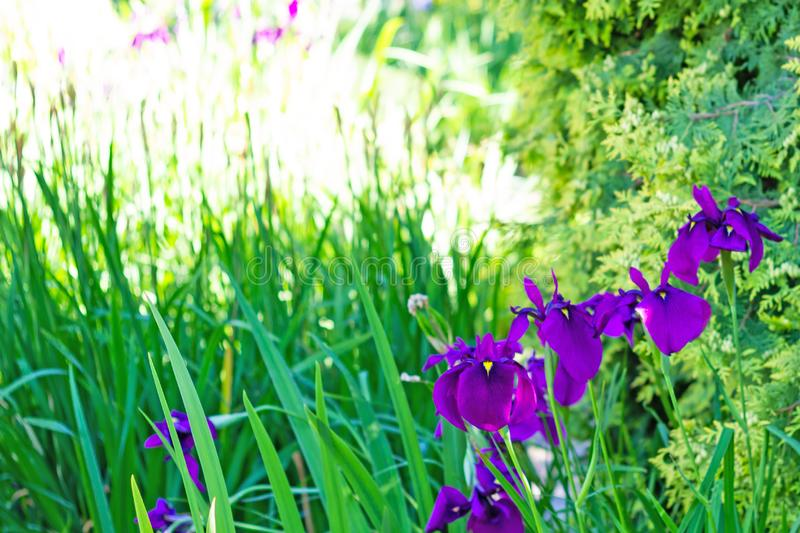 Close up of purple iris flowers on green grass background stock images