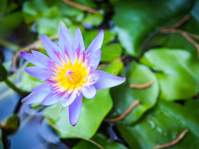 Close up of a purple lotus blossom. Colorful lotus flowers in the pool stock photography