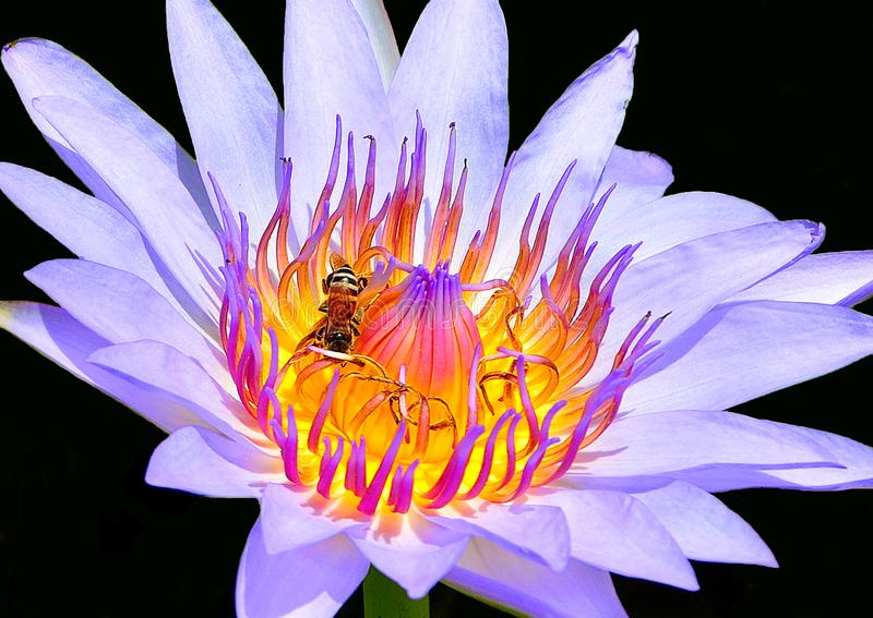 Close up of purple lotus has bee on flower with black background stock image