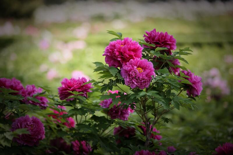 Purple Luoyang peonies in garden stock images
