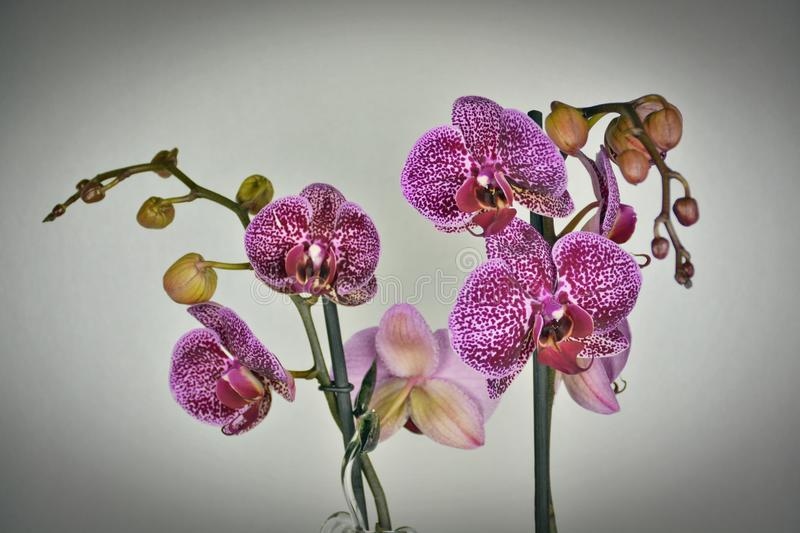 Close-up of Purple Orchid Flowers stock photo