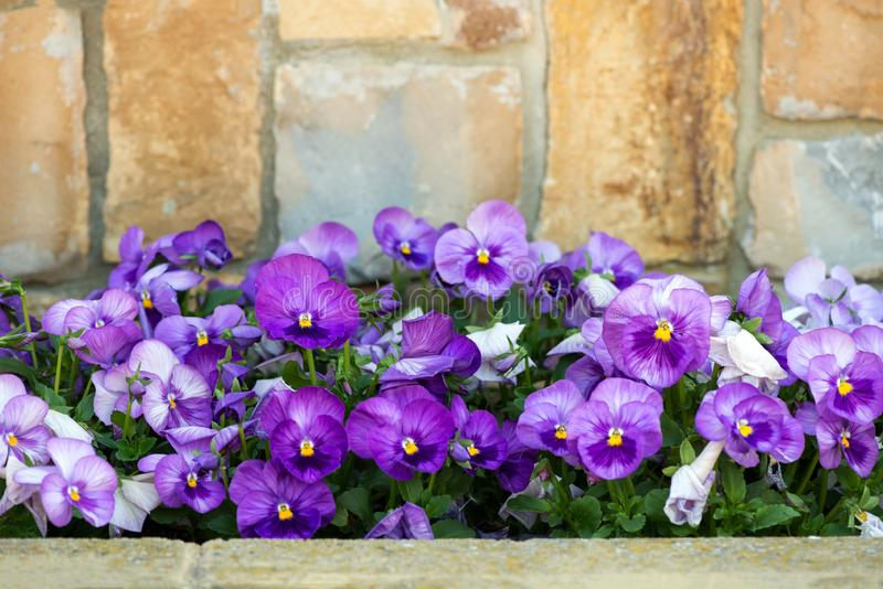 close up of purple pansy flower growing in the spring garden stock images