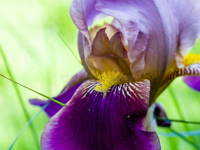 Close-up of a purple petal and yellow stamens of a bearded iris flower stock photos
