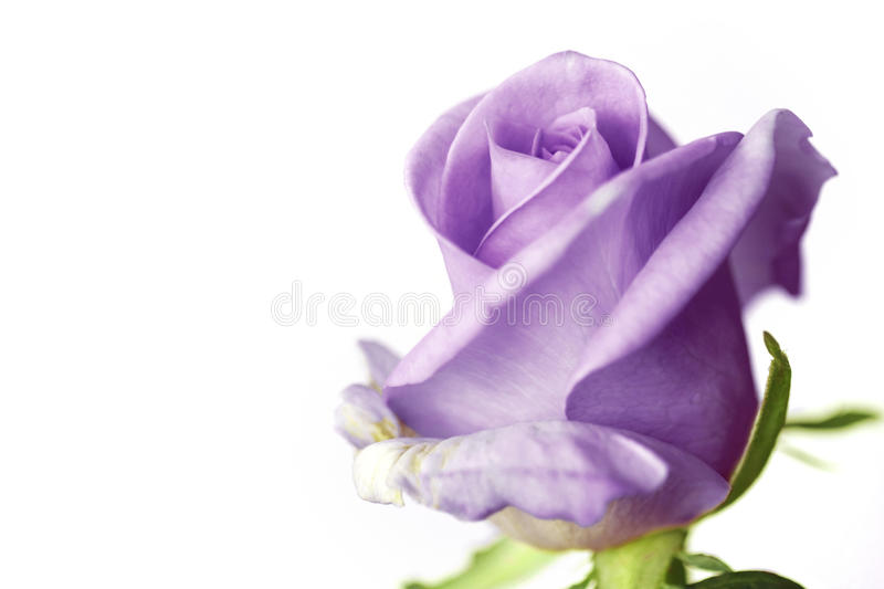 Download Close Up Of Purple Rose On White Background Stock Photo