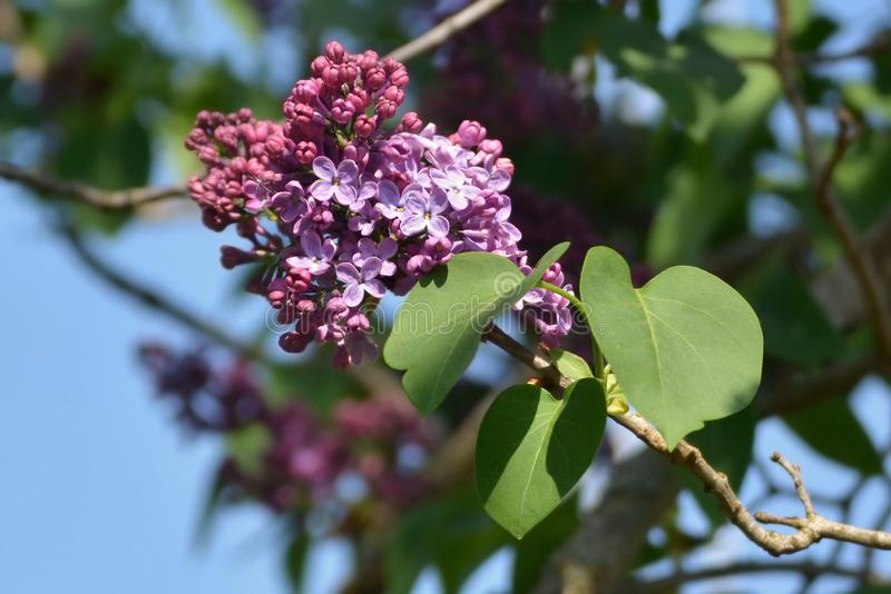 Close up of purple Syringa Vulgaris Common Lilac branch stock image