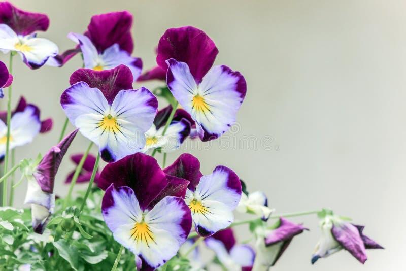 Close up of purple viola tricolor flowers stock photo