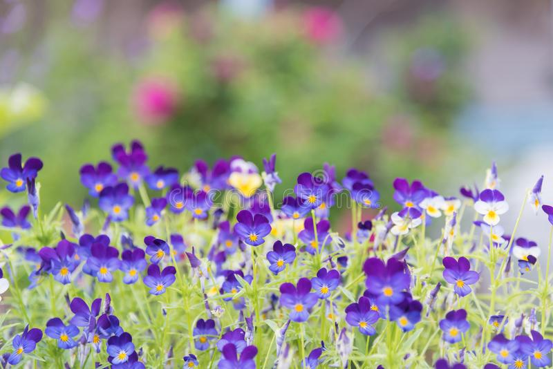 Purple violas blooming in garden with pink roses in background. Close-up of purple violas johnny jump ups blooming in a garden in June with pink roses in the stock image