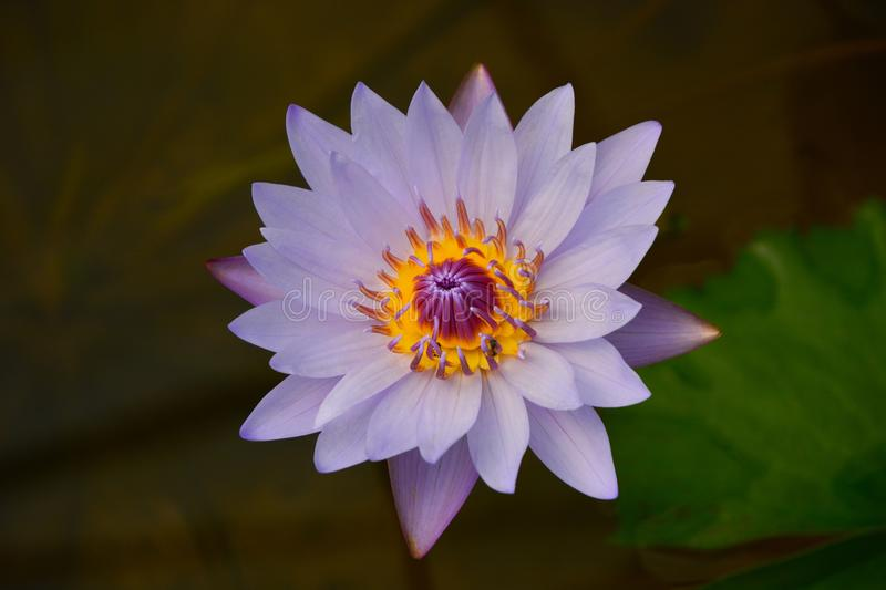 Close up Purple Water Lily Lotus i stock photography