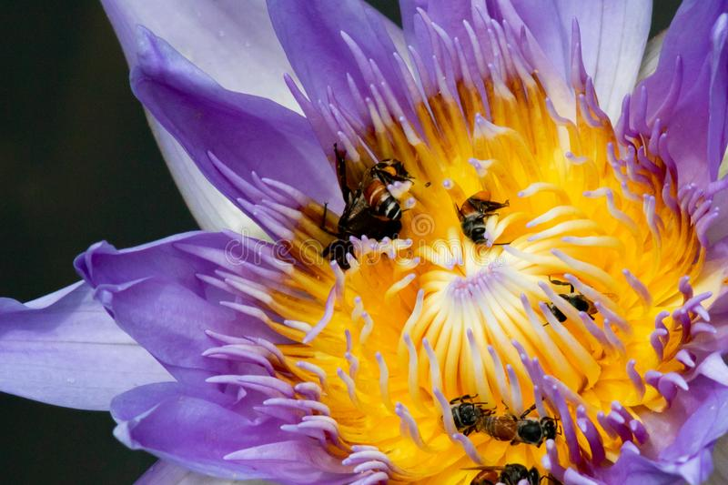 Close-up purple water lily with many bees looking for nectar. stock image