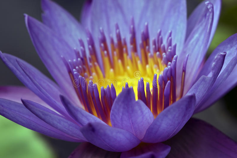 Close-up of purple water lily. SAO PAULO, SP, BRAZIL - MARCH 26, 2016 - Water lily or lotus, aquatic plant of the genus Nymphaea, much appreciated in gardening royalty free stock images