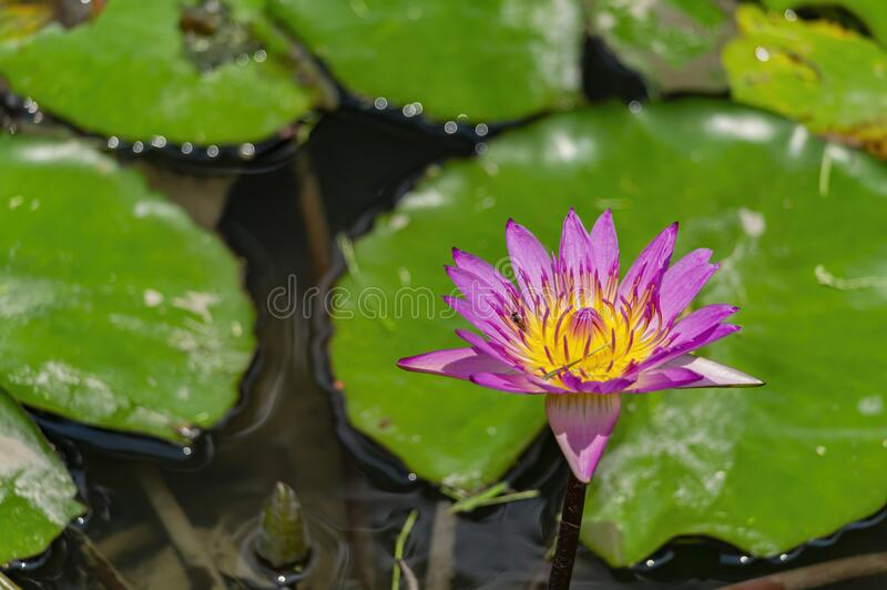 Close up of the purple water lily. At Taichung, Taiwan stock photos