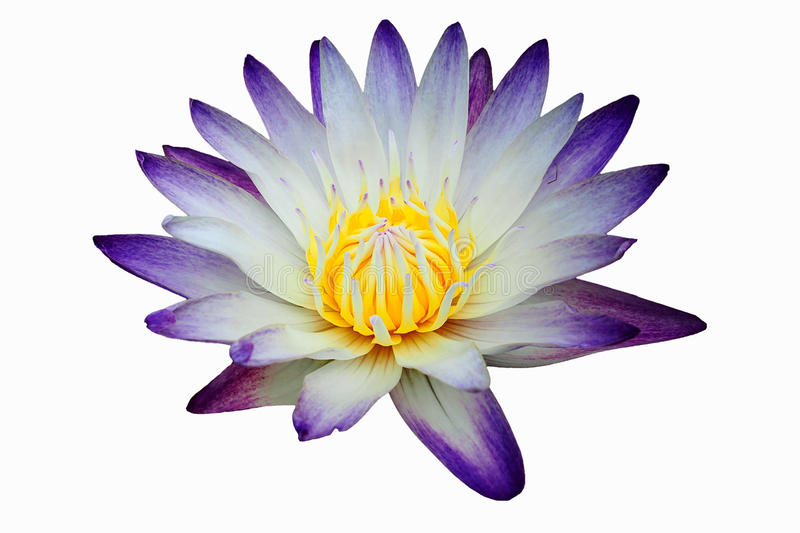 Close up purple waterlily or lotus flower isolated on white background. royalty free stock images