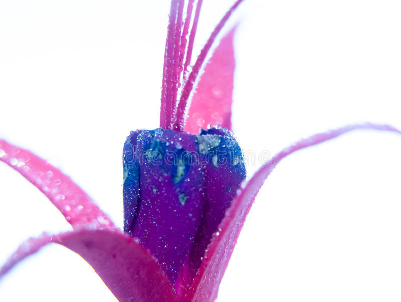 Close up of purple wet water dew droplets petals of Fuchsia on w. Hite background; UK royalty free stock photos