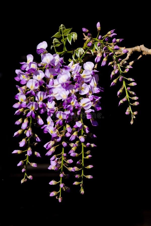 Close up purple and white wisteria stock photo