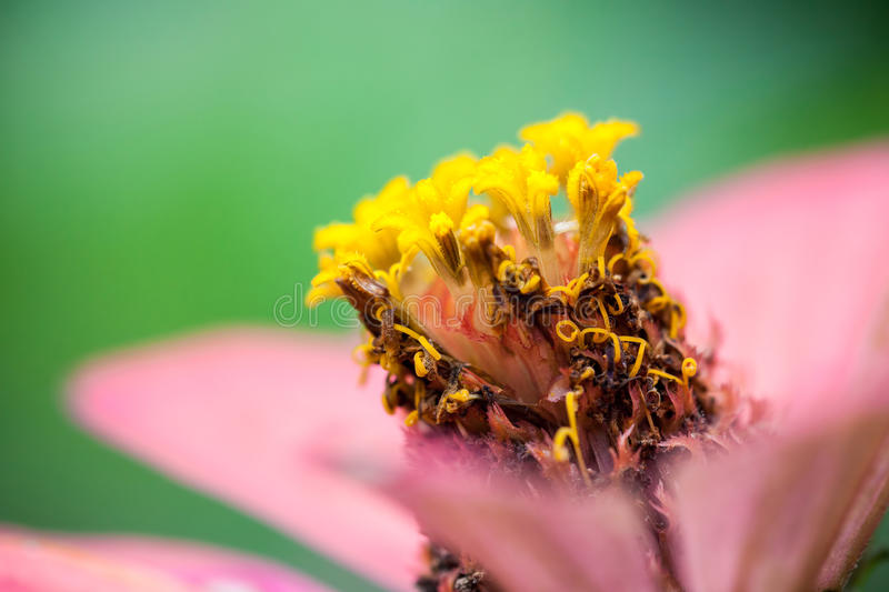 Close up of a purple Zinnia flower stock photography